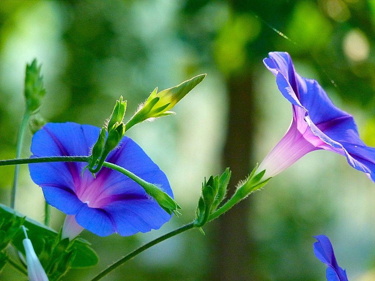 картинки вьюн цветок при ближайшем рассмотрении