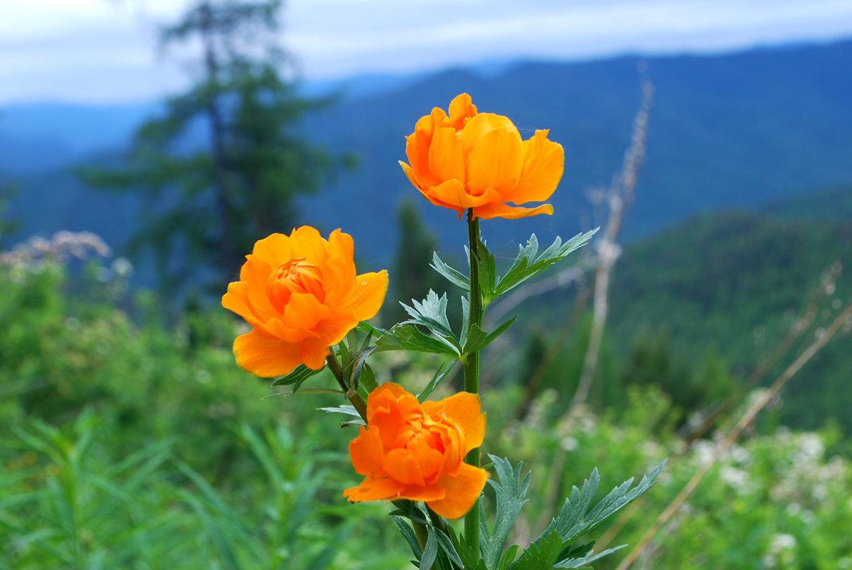 Жарки цветок картинка