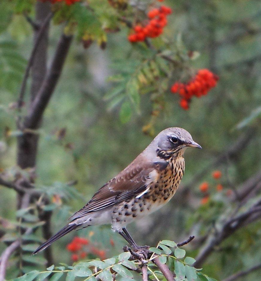 дрозд рябинник птица фото