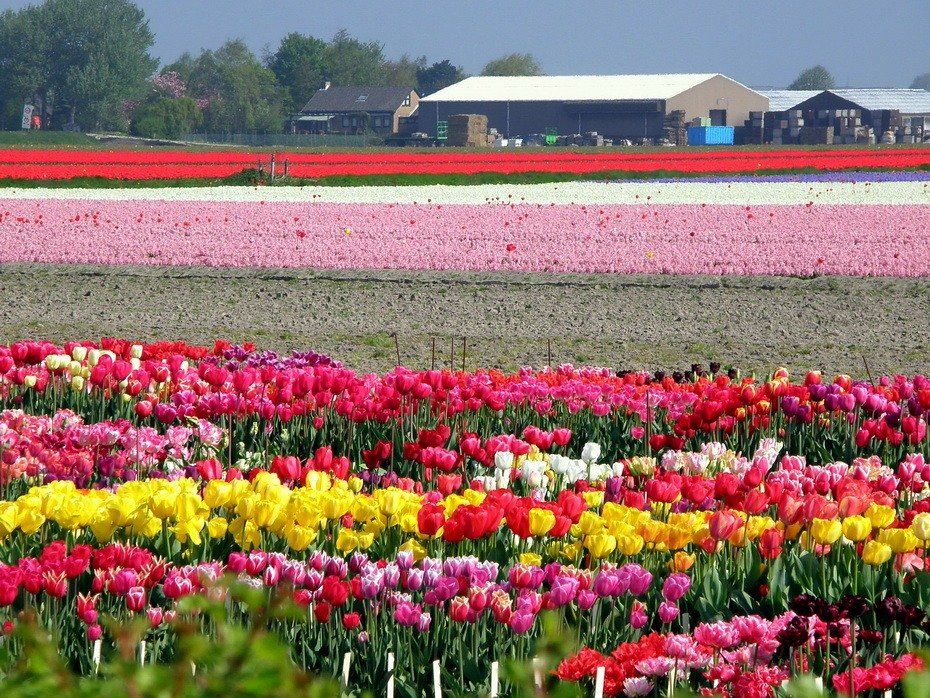 Фото голландских тюльпанов