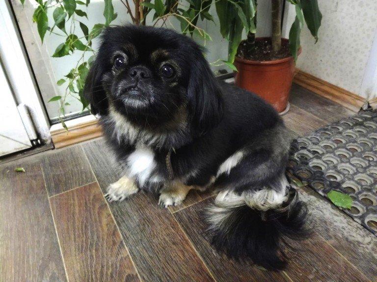 нечестью силой, щенок пекинеса черного окраса фото таланта