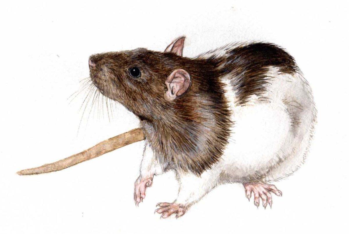 Крысенок картинка рисунок