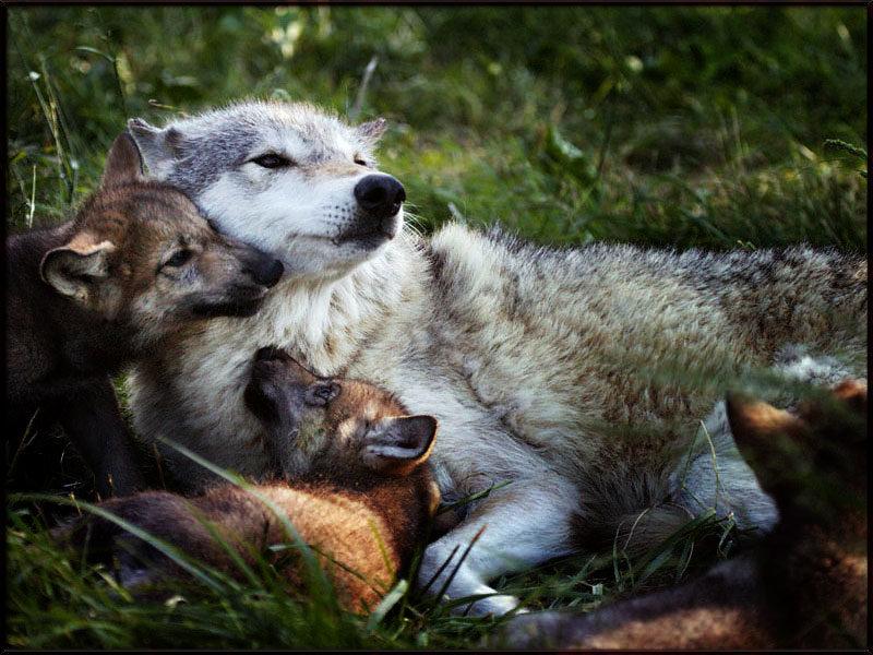 картинки волк и волчонок меня задуманное дело