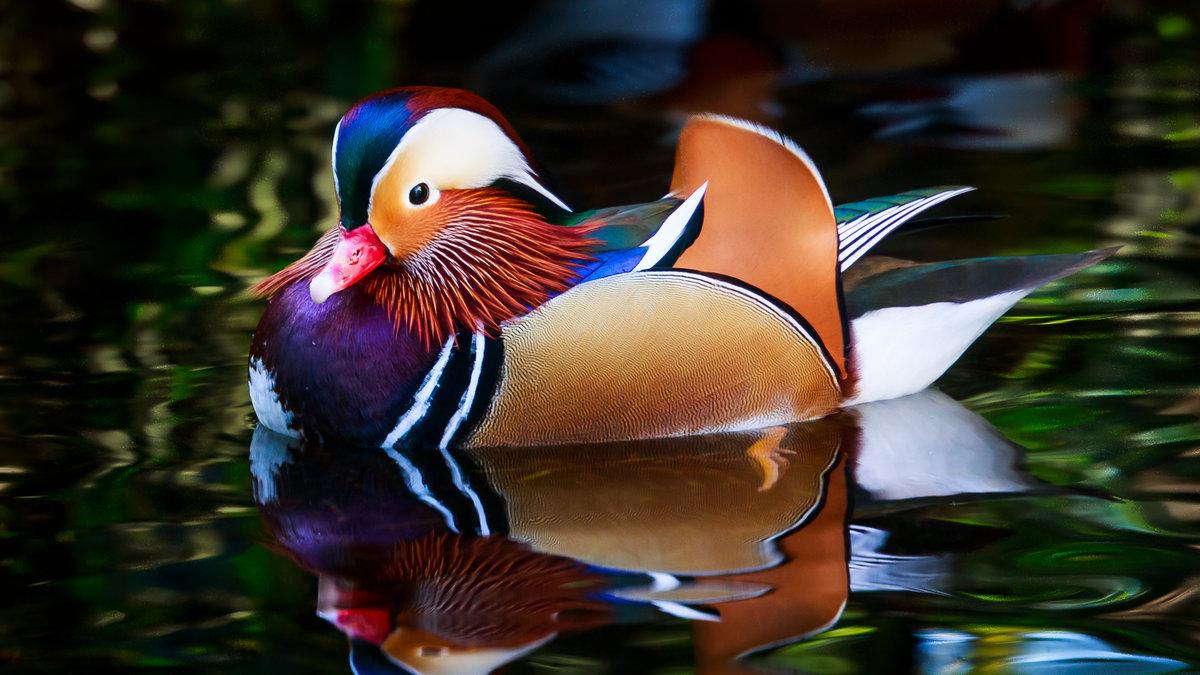Самые красивые утки мира фото, картинки