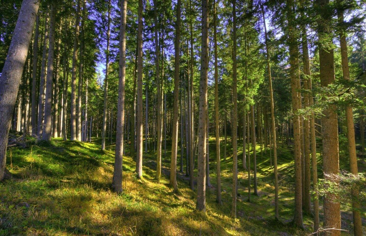 Открытки день, картинки соснового леса