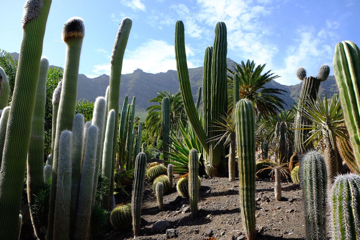 выбрать картинки мексиканских кактусов сравнения