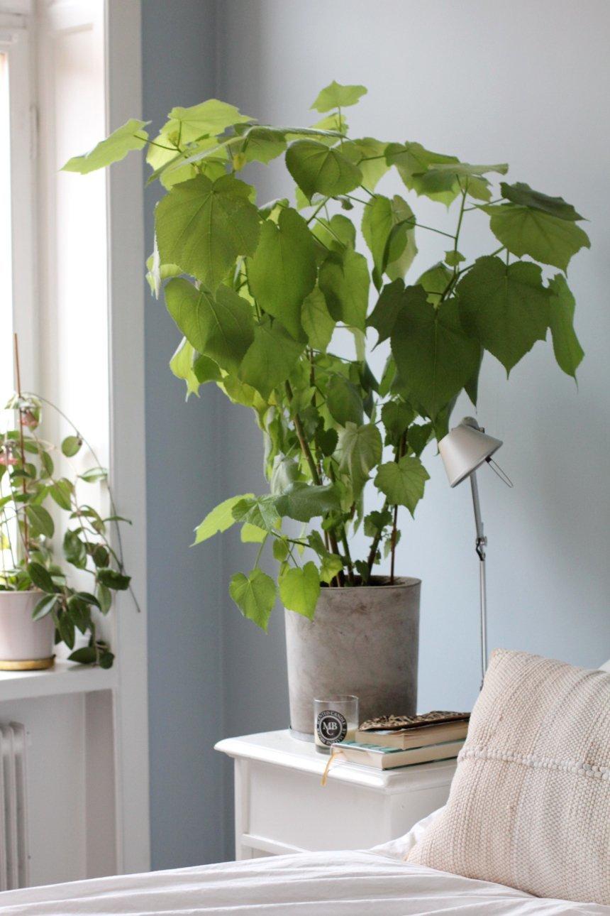 Спармания (комнатная липка): уход в домашних условиях