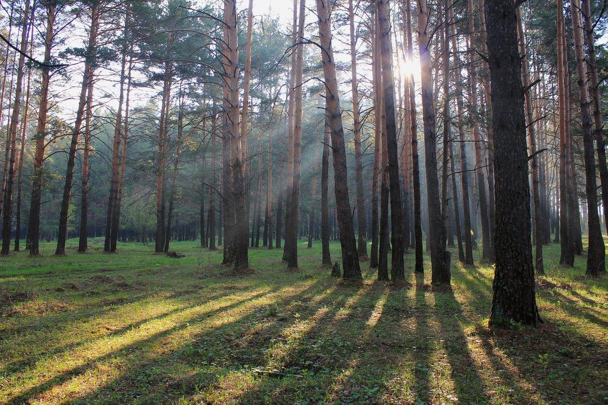 Картинка природа сосновый бор