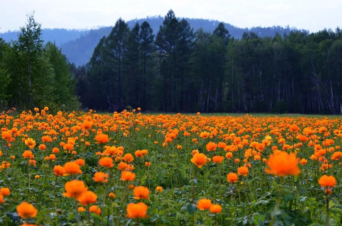 цветы жарки сибирские фото круг