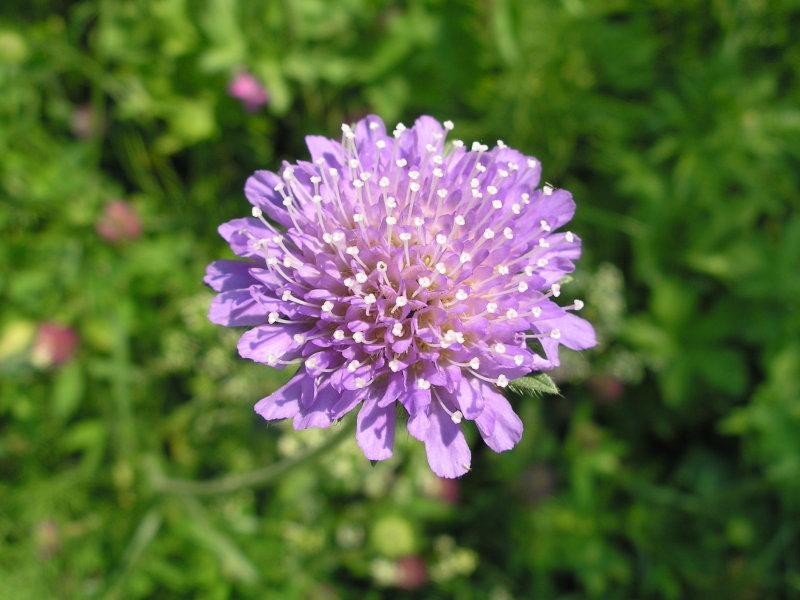 картинка цветка короставника модель, кроме двуспальной