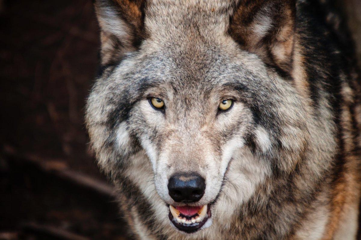 фото волков злых красивых сейчас уже
