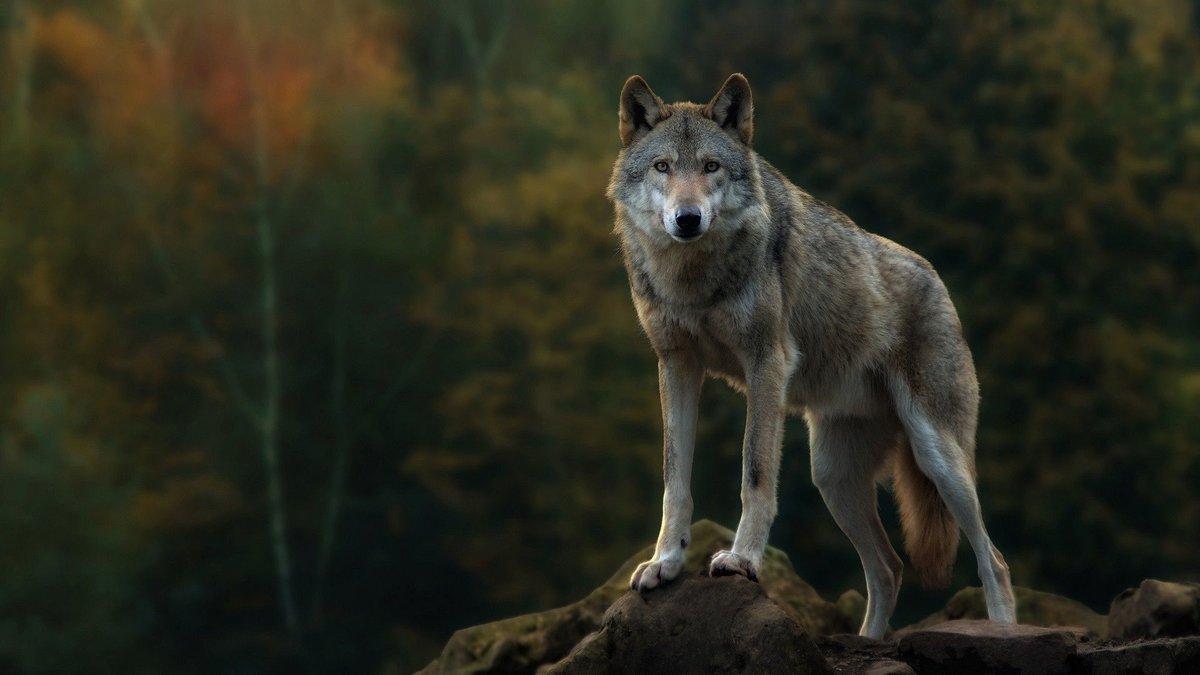Волк картинка с надписью, днем рождения