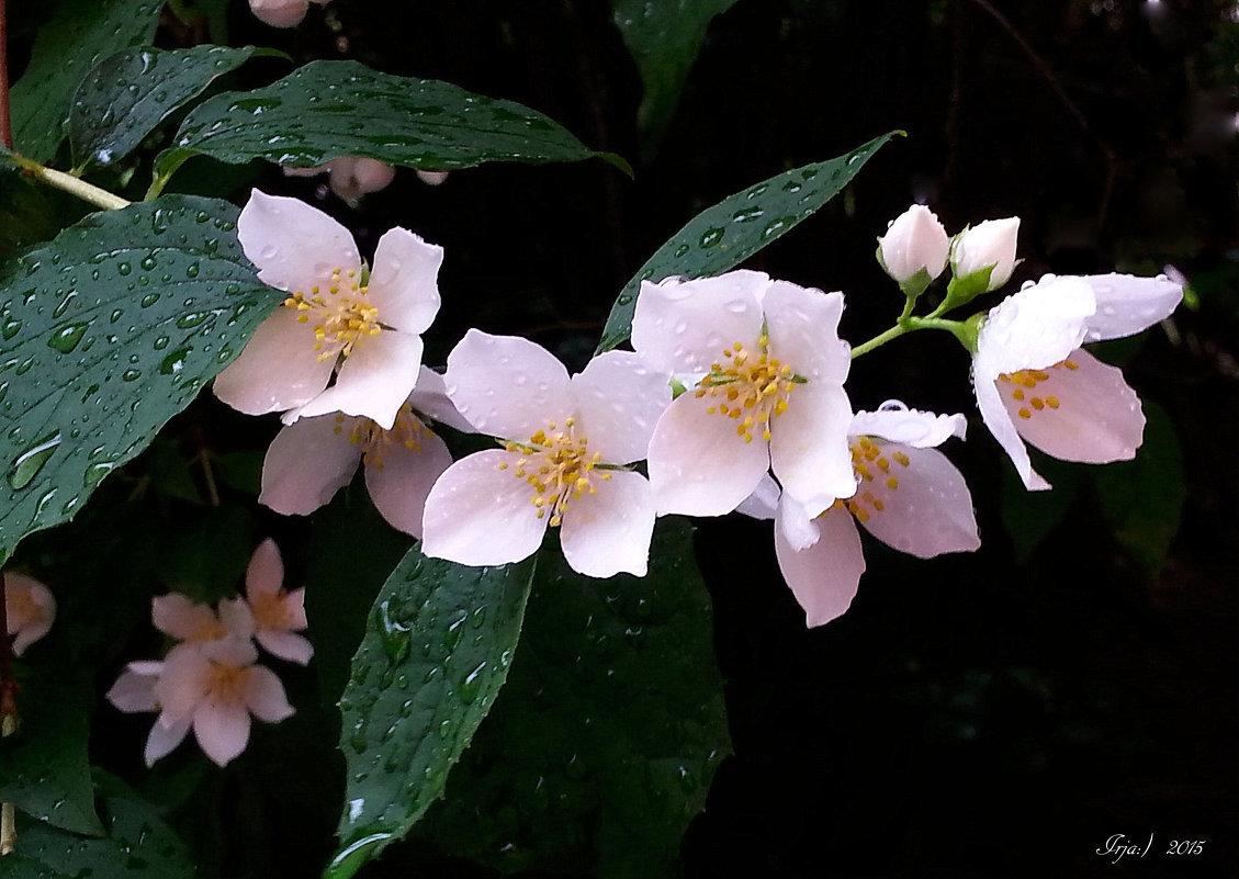Жасмин цветы картинка
