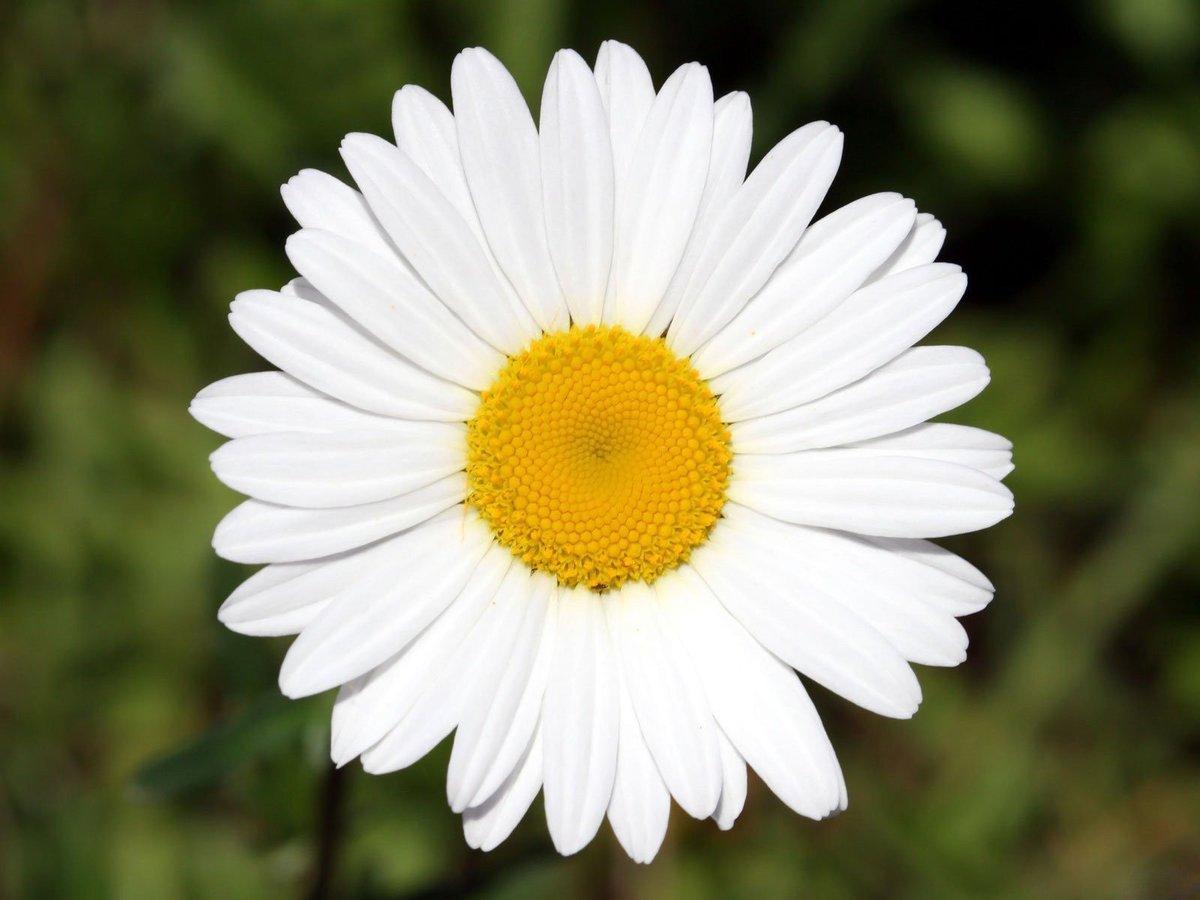 Ромашка цветок открытка