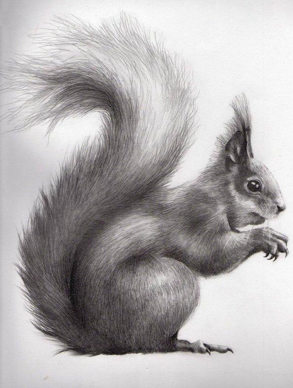 рисунок бельчонок карандашом