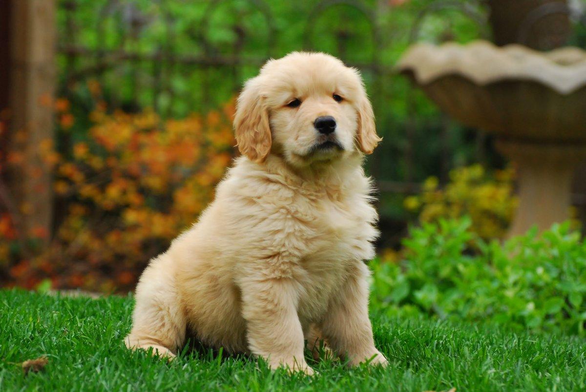 Днем рождения, картинки золотистый ретривер щенки