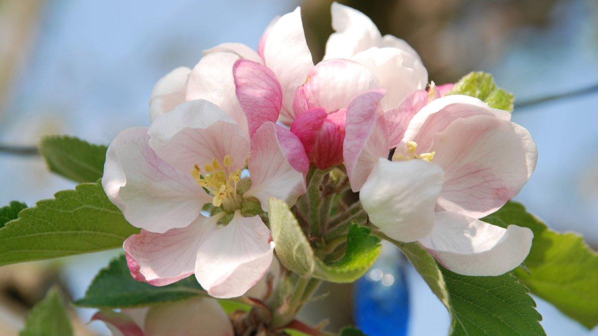 элементарный способ фото цветущей яблони на рабочий стол желаете снять трехкомнатную