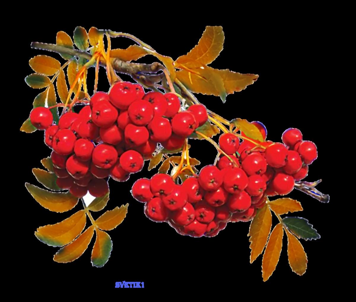 Картинка гроздь рябины для детей на прозрачном фоне