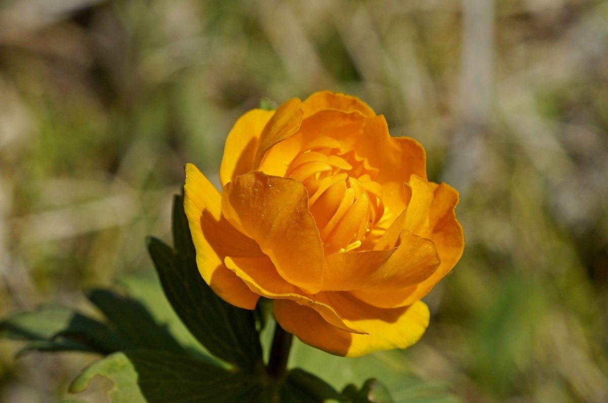 заявку цветы жарки сибирские фото производства одежды