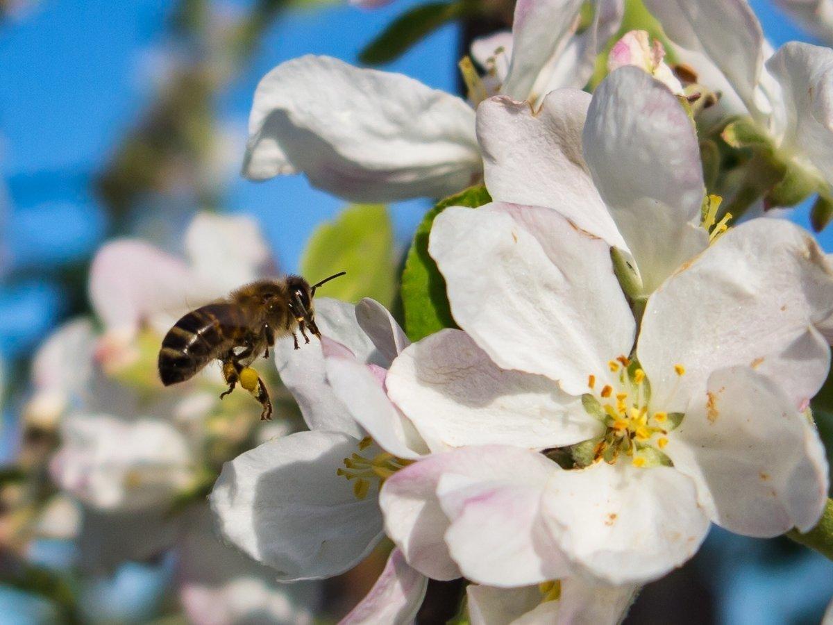 восьми картинка пчела на цветке яблони роскошная