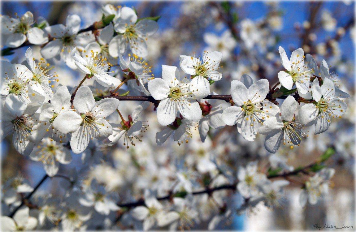 Дню, открытки с цветущей яблоней весной