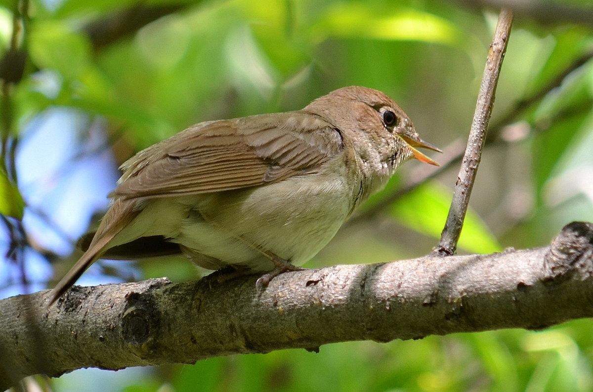 желательно, птица соловей фото прилетают они в прим край необходимо