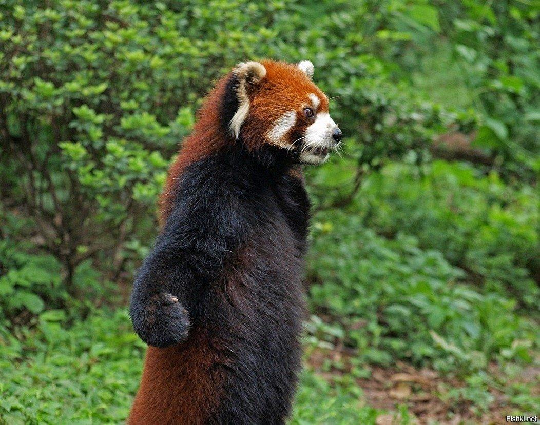 красные панды фото смешные