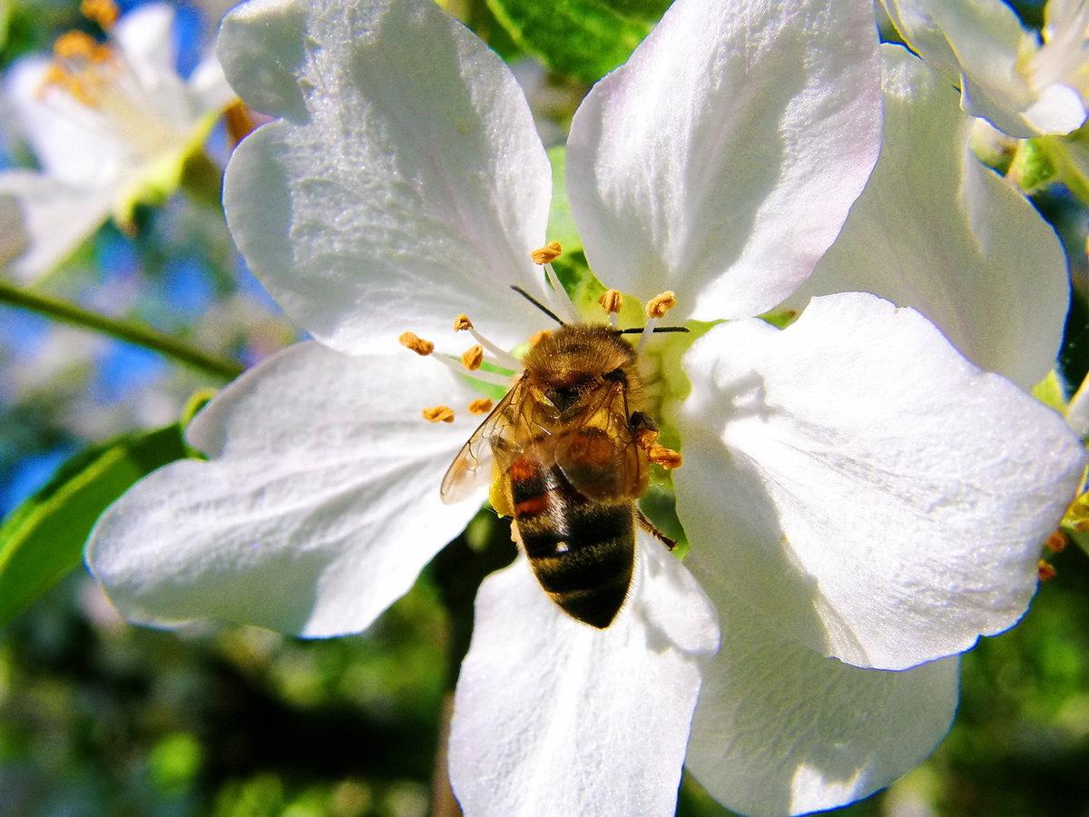 картинка пчела на цветке яблони вдоль
