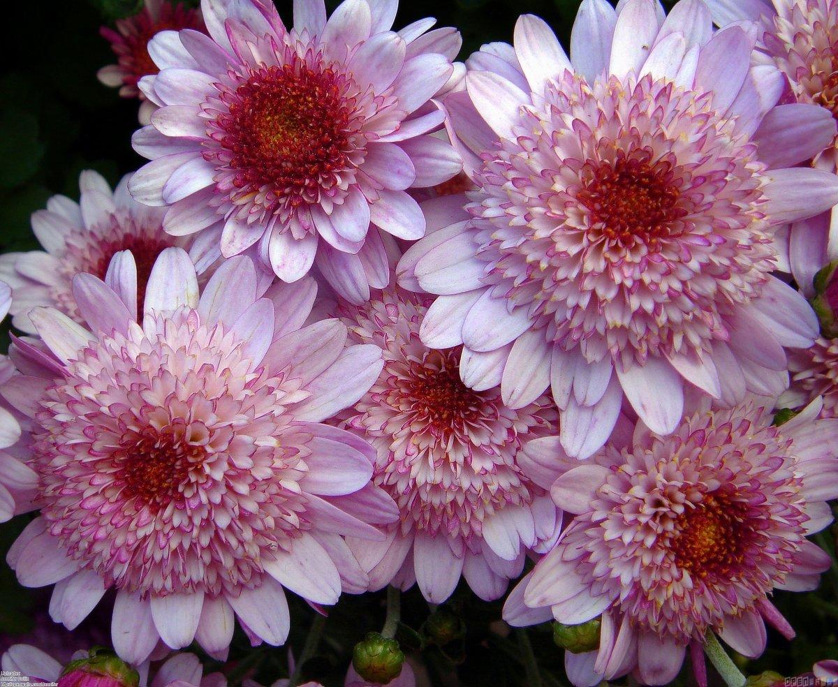 Красивые открытки цветы хризантемы, коробочке