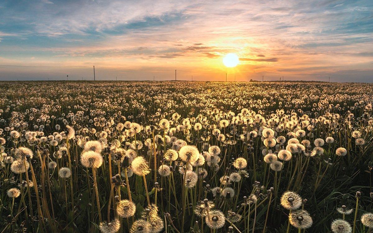 Одуванчики в поле фото
