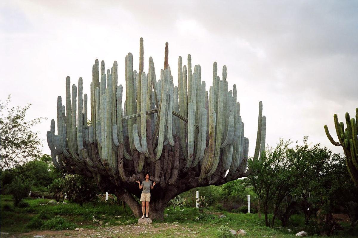 самый большой кактус в мире фото уже приняли решение
