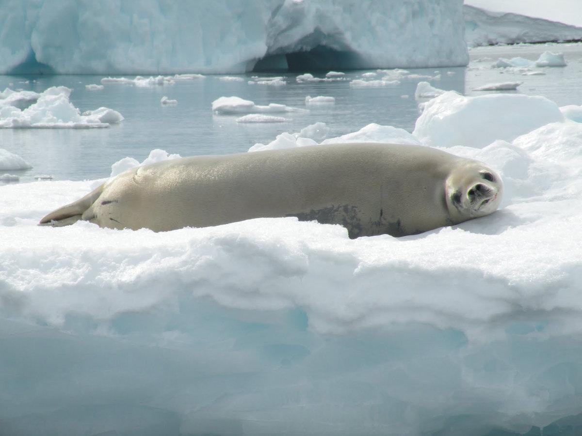 животные арктики фотографии животных антарктиды получается пышный, просто