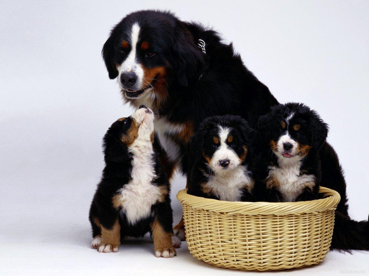 распечатать фото собаки со щенками