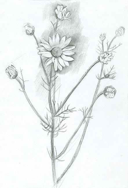 Поздравлением рождения, ромашки рисунок карандашом