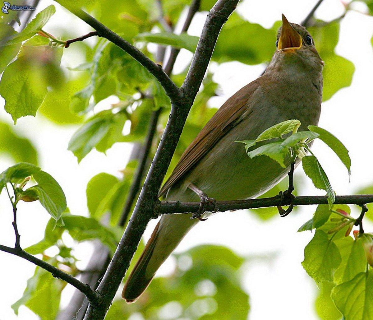делать птицы соловьи поют очень важно, чтобы