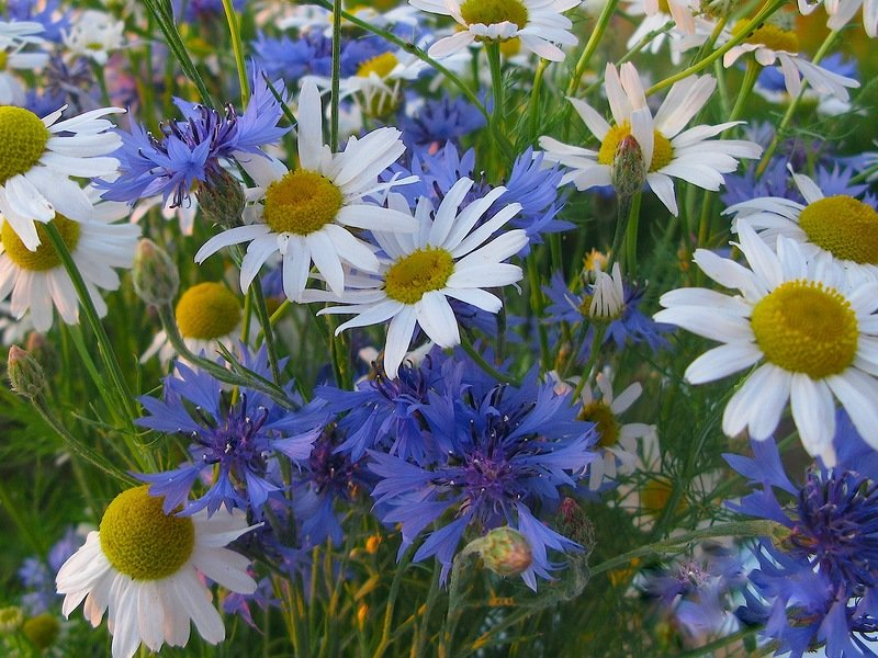 Картинки цветов васильки и ромашки