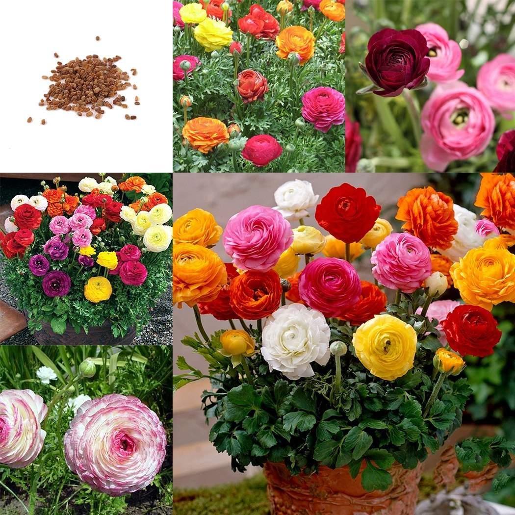 Лютик фото цветов и семян