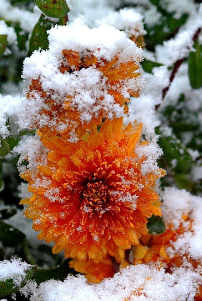 картинки ноябрь цветы долгоцветущий гибридный