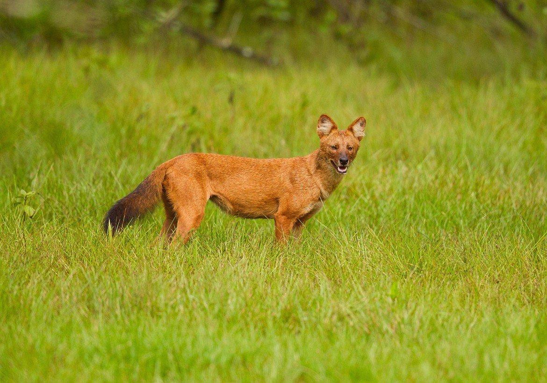 Картинки про красных волков
