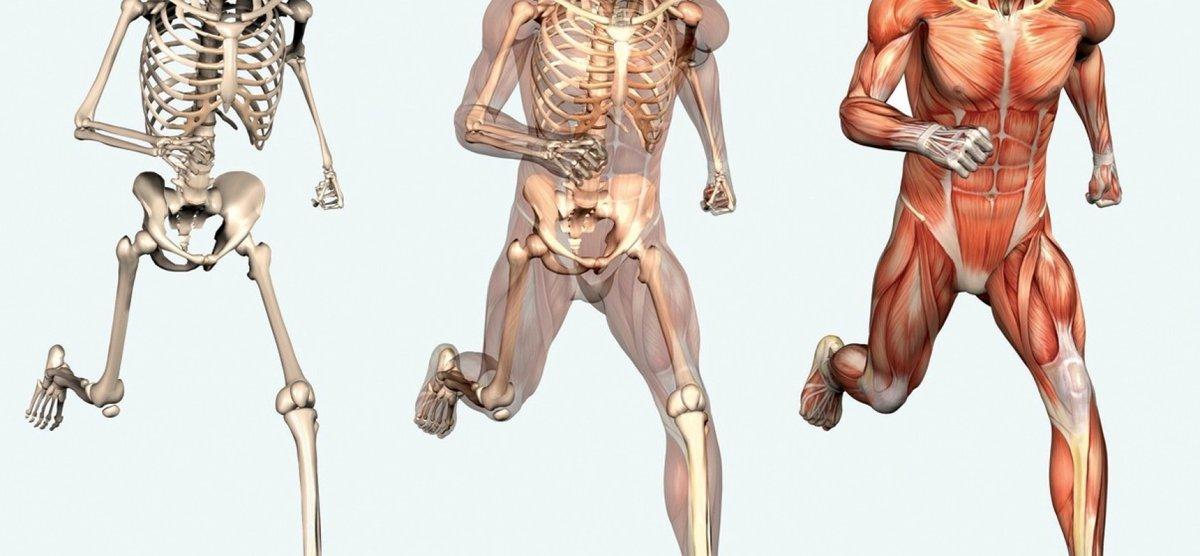 этой скелет человека с мышцами фото гранит или
