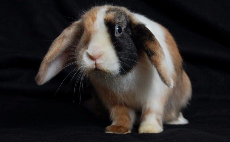 Породы с картинками декоративных кроликов