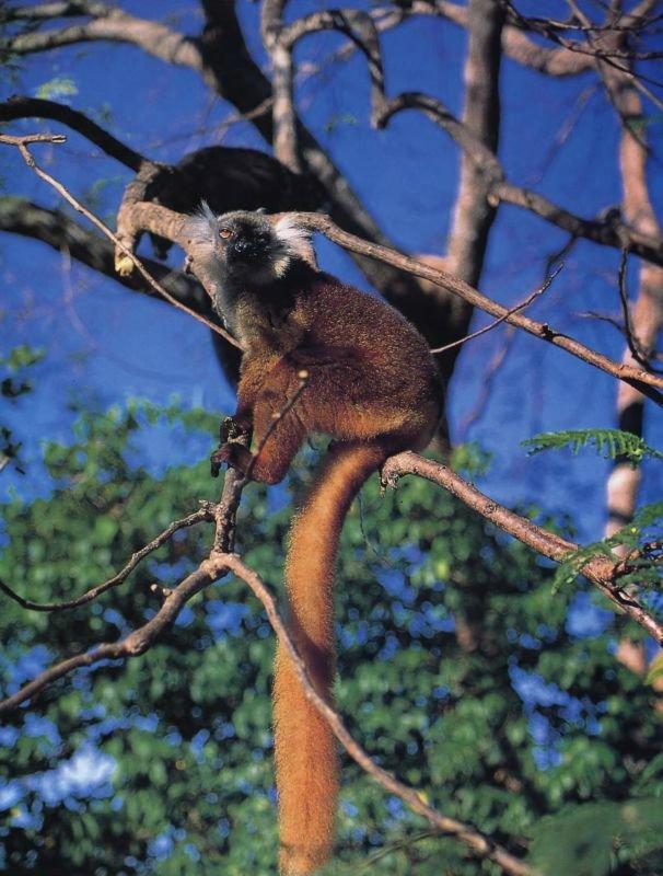 Несмотря на свое название, лишь самец черного лемура имеет шерсть соответствующего цвета, самки же ярко-коричневые. Этот вид живет группами от пяти до десяти особей в лесах северо-запада Мадагаскара.