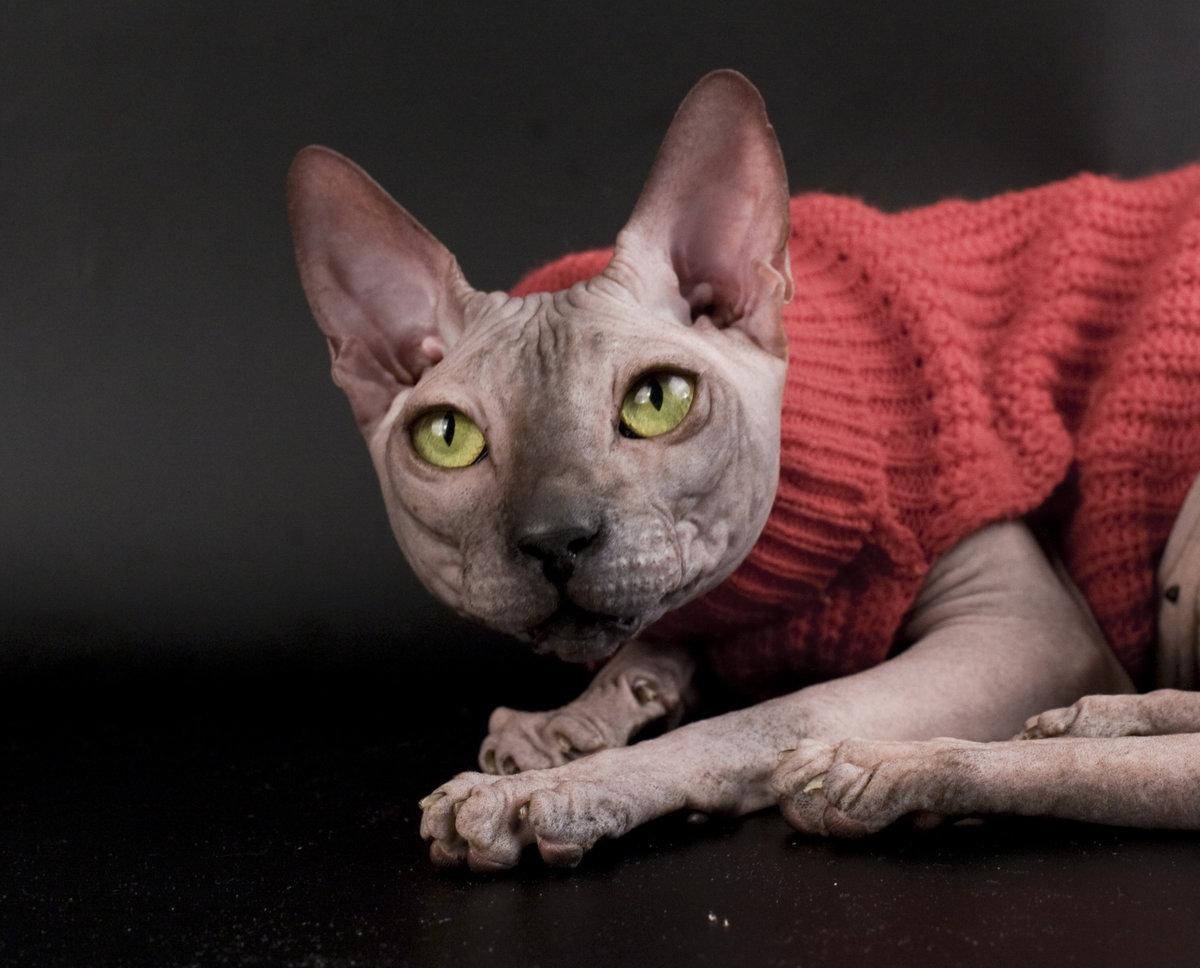 картинки домашней кошки сфинкс кракелюр, есть