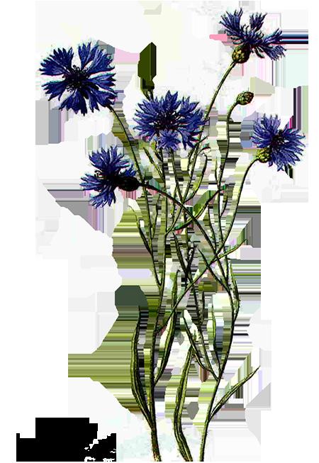 Цветы васильки картинки черным, мужчине