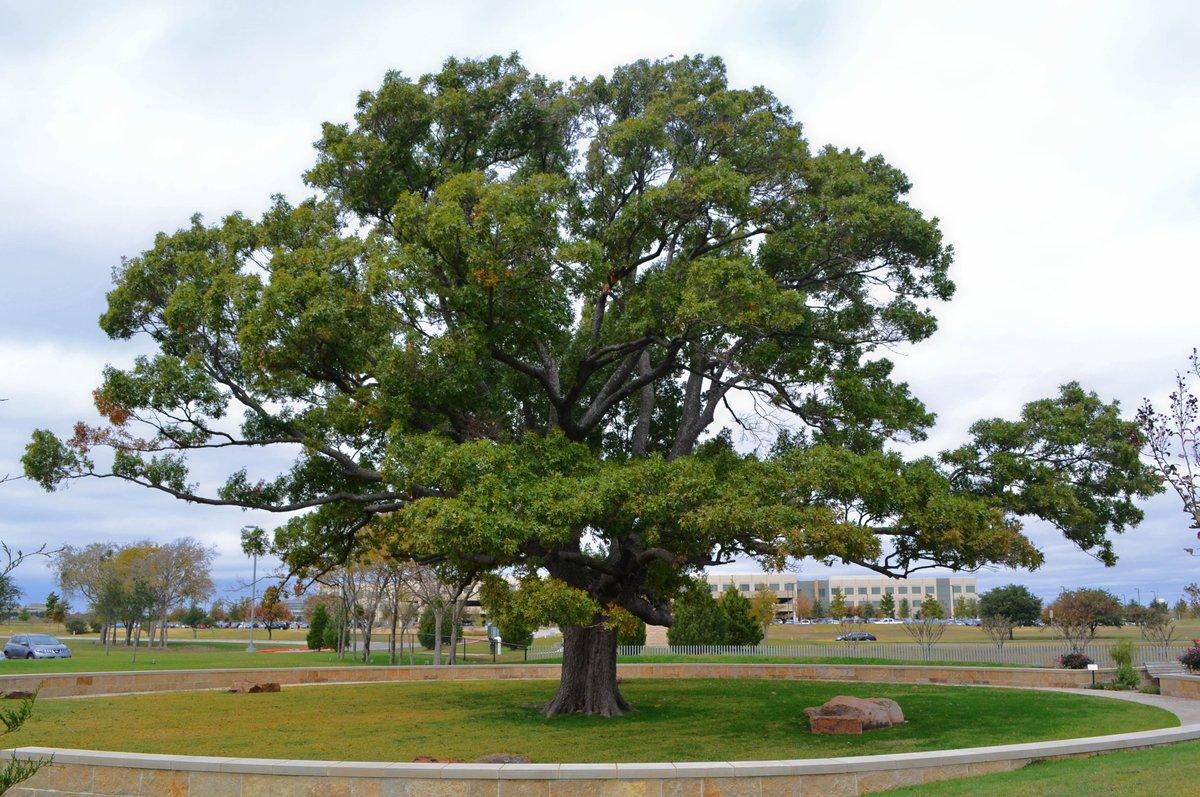 фото дерева типа дуб также обычные пользовательницы