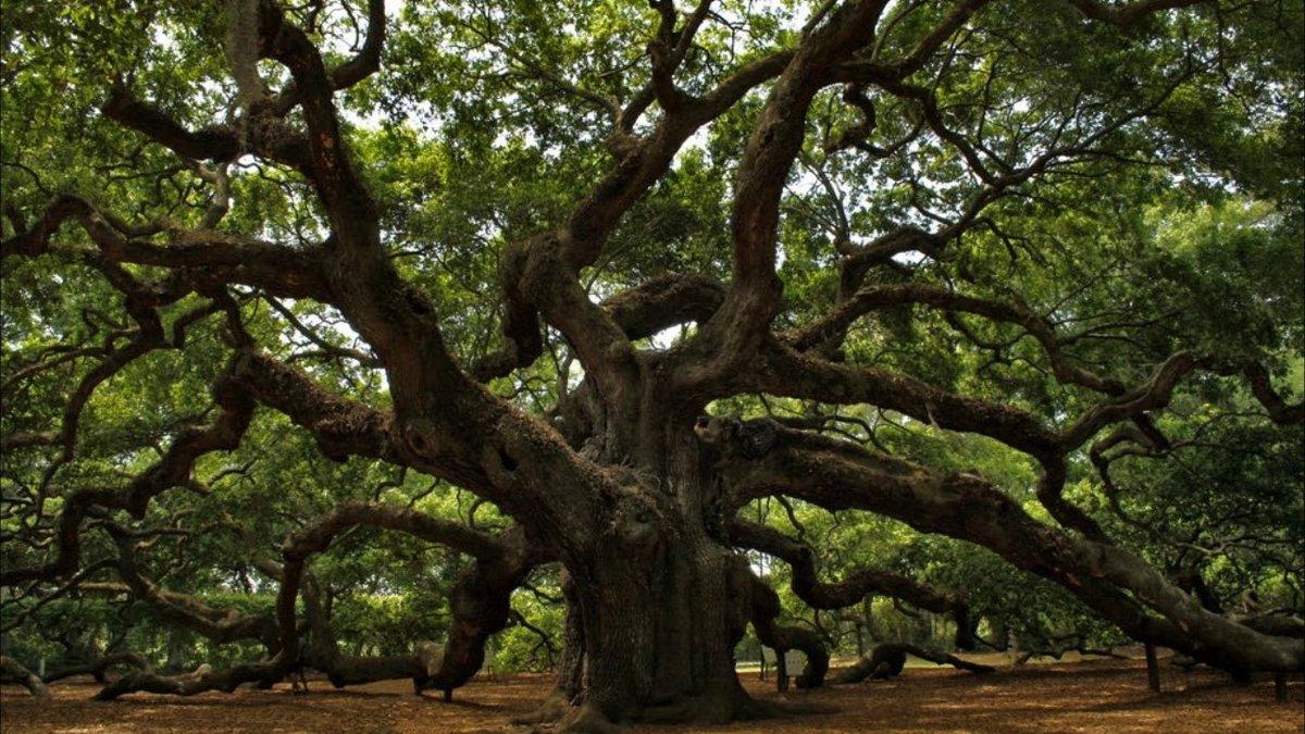 Раскидистое дерево фото