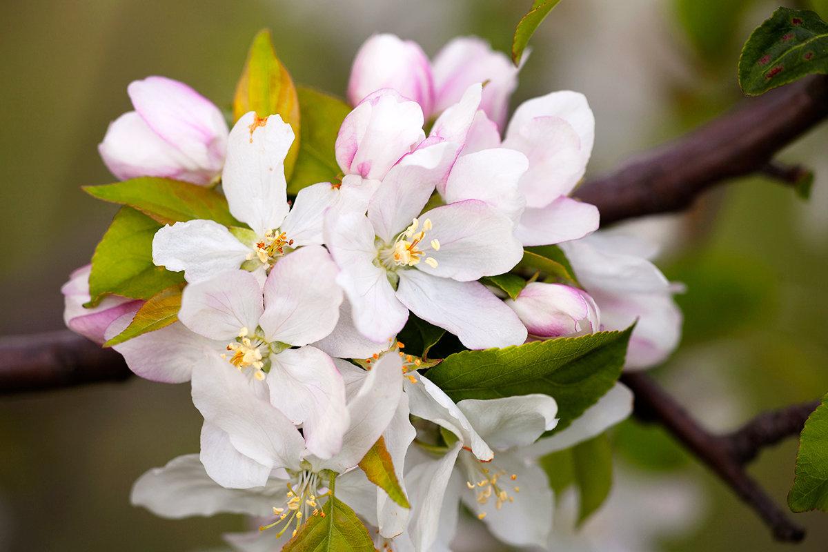 Картинки яблони цветущей