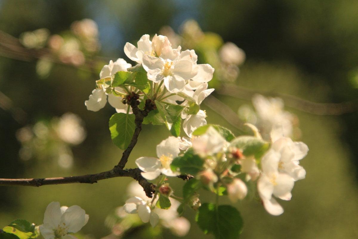 Картинки цветет яблоня