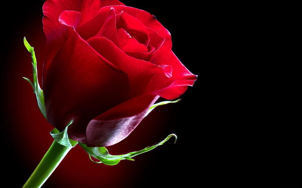 говорю своими красивые картинки роз на черном фоне можно