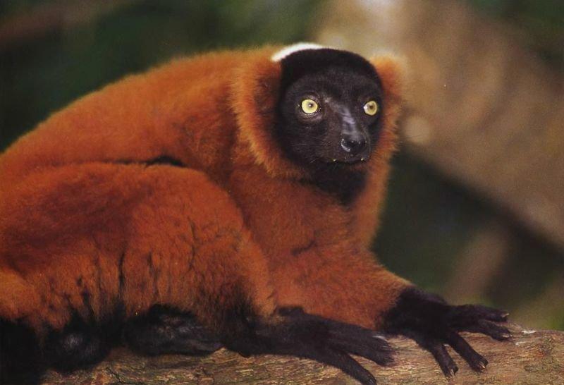 Специалисты до сих пор спорят, является ли красно-рыжий лемур разновидностью рыжего лемура или это самостоятельный вид. В любом случае это редкий зверь, обитающий лишь на небольшой территории в северной части тропических лесов восточного побережья Мадагаскара.